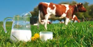 Bild einer Wiese mit Kühen, in der im Vordergrund ein Krug und Glas mit frischer Kuhmilch stehen.