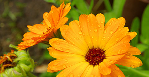 Bild von zwei blühenden Ringelblumen auf einer Wiese.
